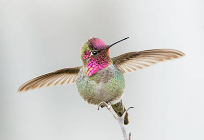 Photograph - Hummingbird Stretch by Loree Johnson