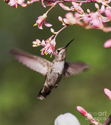 Winter Animals - Hummingbird surrounded by pink  by Ruth Jolly