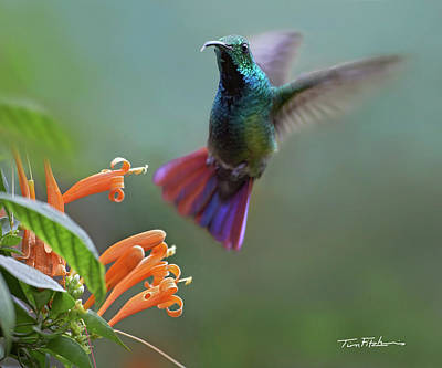 Photograph - Hummingbird by Tim Fitzharris