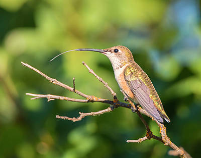 Photograph - Hummingbird Tongue by Loree Johnson
