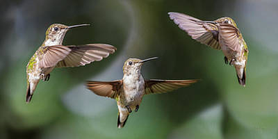 Trio Photograph - Hummingbird Trio by Betsy Knapp
