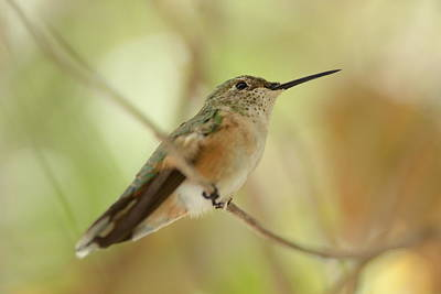Photograph - Hummingbird by Vanessa Valdes