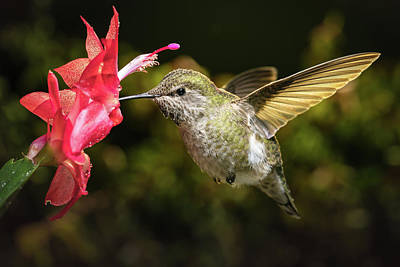 Photograph - Hummingbird Visits Her Favorite Red Flower by William Lee