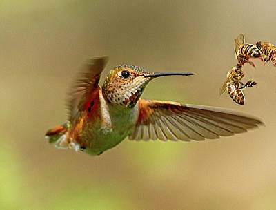 Photograph - Hummingbird Vs. Bees by Sheldon Bilsker