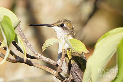 Photograph - Hummingbird Watching The Watcher by Robert E Alter Reflections of Infinity