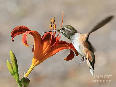 Rufous Wall Art - Photograph - Hummingbird Whisper  by Carol Groenen