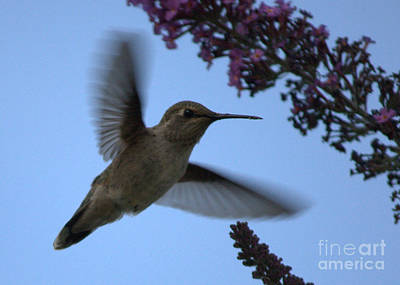 Butterfly In Flight Photograph - Hummingbird Wings And Butterfly Bush by Carol Groenen