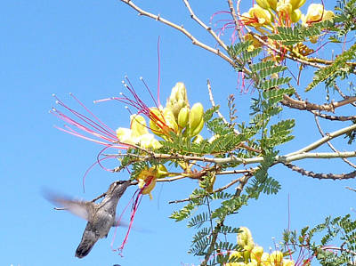 Photograph - Hummingbird With Honeysuckle by Carla Parris