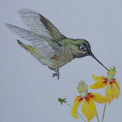 Hummingbird With Mexican Hat Art Print by Sally Atchinson
