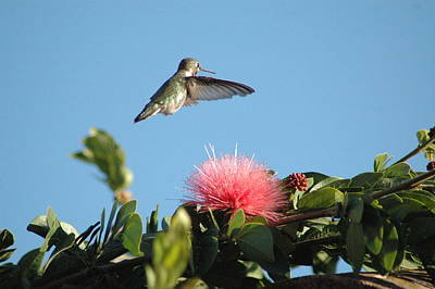 Photograph - Hummingbird With Pink Flower by Wanda Jesfield