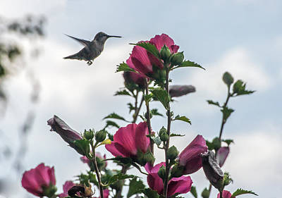 Hummingbird With Rose Of Sharon Art Print by Photographic Arts And Design Studio