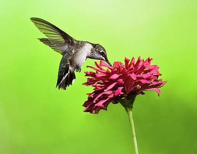 Photograph - Hummingbird With Zinnia by Lara Ellis