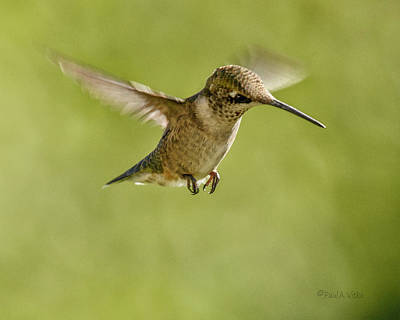 Photograph - Hummingbird_07 by Paul Vitko