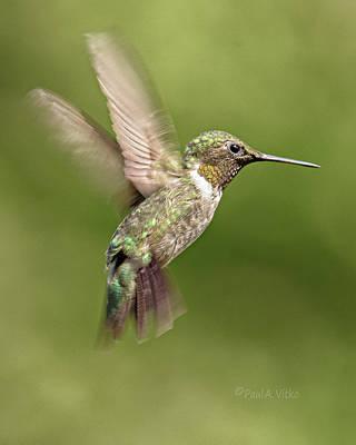 Photograph - Hummingbird_08 by Paul Vitko