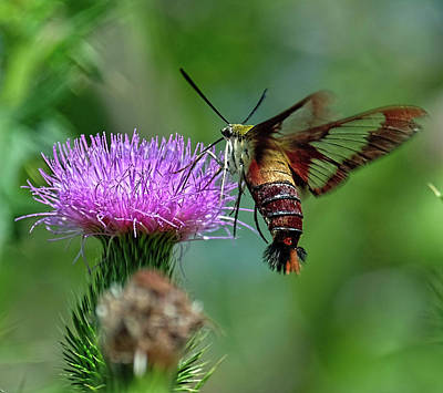 Photograph - Hummingbirdbird Moth Dining by Ronda Ryan