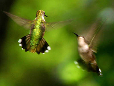 Hummingbirds - Fighting Art Print by Fred Baird