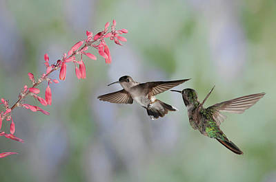 Photograph - Hummingbirds by Alan Toepfer