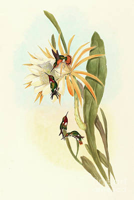 Exotic Drawing - Hummingbirds, Calothorax Heliodori by John Gould