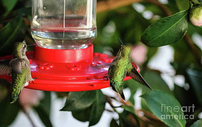 Photograph - Hummingbirds Dropping In by Suzanne Luft
