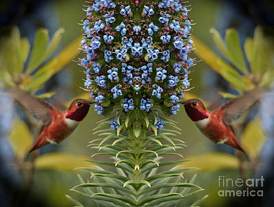 Photograph - Hummingbirds Feeding On Echium Flowers by Jim Fitzpatrick