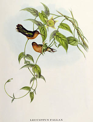 Hummingbird Drawing - Hummingbirds by John Gould