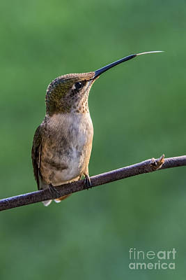 Photograph - Hummingbird's Quick Tongue by Madonna Martin