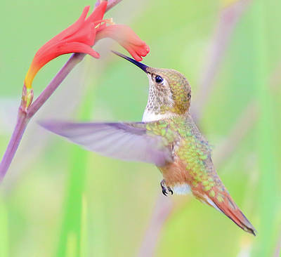 Photograph - Hummingbird's Sweet Nectar by Athena Mckinzie