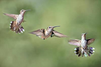 Hover Wall Art - Photograph - Hummingbirds The Girls by Betsy Knapp