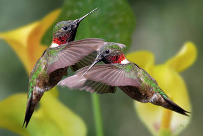 Birds Rights Managed Images - Hummingbirds Royalty-Free Image by Betsy Knapp