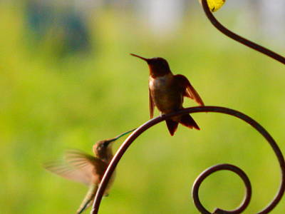 Photograph - Hummingbirds by Virginia Kay White