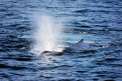 Photograph - Humpback Blow by Deana Glenz