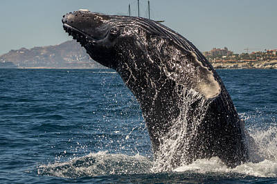 Photograph - Humpback Breach 5 by Frankie Grant