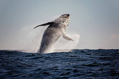 Photograph - Humpback Breach Mexico by Deana Glenz
