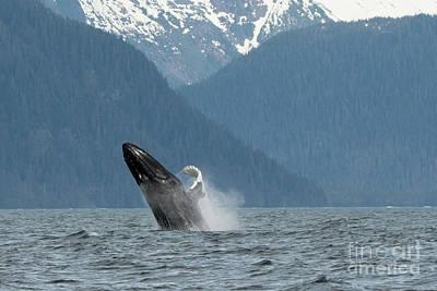 Photograph - Humpback Breaching Alaska by Loriannah Hespe