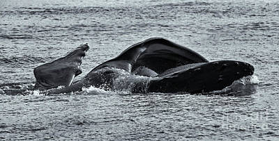 Photograph - Humpback Fishing by Mike Dawson