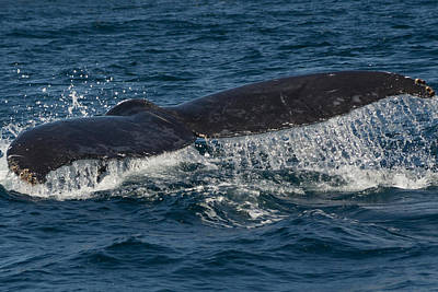 Photograph - Humpback Fluke Down 2 by Frankie Grant