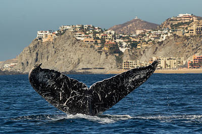 Photograph - Humpback Fluke Up by Frankie Grant
