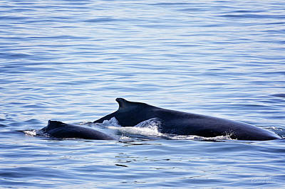 Photograph - Humpback Mom And Calf by Deana Glenz