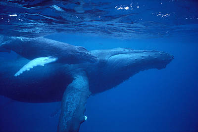 Humpback Mother And Calf Art Print by Ed Robinson - Printscapes
