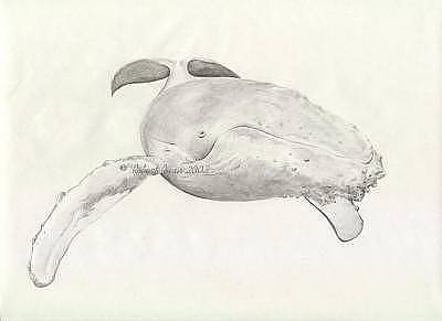 Humpback Whale Drawing - Humpback by Robert Ryan