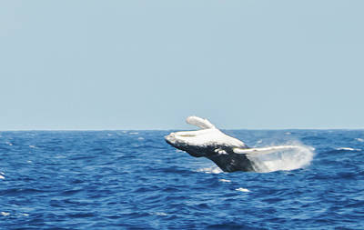 Photograph - Humpback Smackdown Off Bermuda by Jeff at JSJ Photography