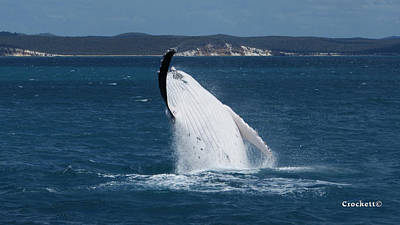 Photograph - Humpback Whale Breaching 10 Image 1 Of 3 by Gary Crockett