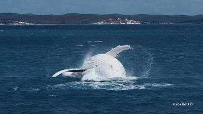 Photograph - Humpback Whale Breaching 10 Image 2 Of 3 by Gary Crockett