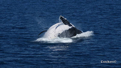 Photograph - Humpback Whale Breaching 11 Image 3 Of 4 by Gary Crockett