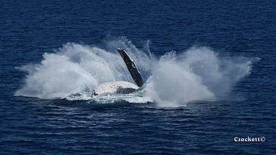 Photograph - Humpback Whale Breaching 11 Image 4 Of 4 by Gary Crockett