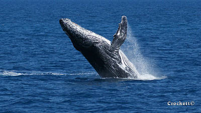 Photograph - Humpback Whale Breaching 12 Image 1 Of 2 by Gary Crockett