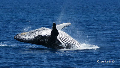 Photograph - Humpback Whale Breaching 12 Image 2 Of 2 by Gary Crockett