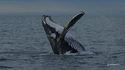 Photograph - Humpback Whale Breaching 13 Image 1 Of 1 by Gary Crockett