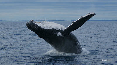 Photograph - Humpback Whale Breaching 14 Image 1 Of 1 by Gary Crockett