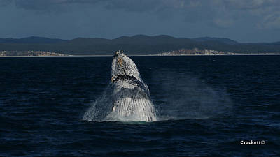 Photograph - Humpback Whale Breaching 16 Image 1 Of 2 by Gary Crockett